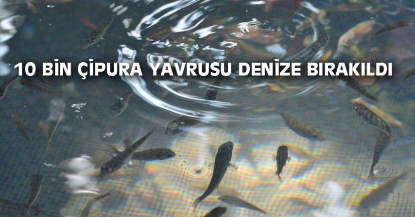 10 BİN ÇİPURA YAVRUSU DENİZE BIRAKILDI